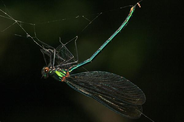 blaufl gel prachtlibelle calopteryx splendens. Black Bedroom Furniture Sets. Home Design Ideas