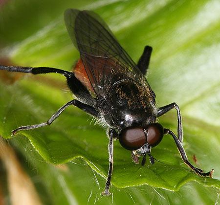 rote holzmulmschwebfliege brachypalpoides lentus. Black Bedroom Furniture Sets. Home Design Ideas