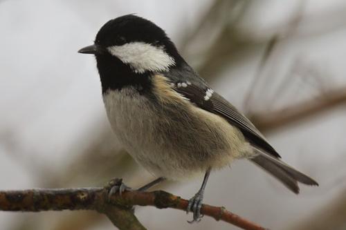 Grauer vogel mit schwarzer haube